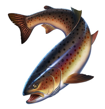 Rainbow trout fish on white background. Trout delicacy. Wild river fish isolated.