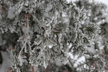 Snow and frost lie on the fir branches