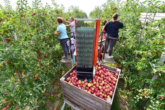 harvest assistant on a machine for automatic harvesting of ripe fresh apples on a plantation // Erntemaschine in einer Apfelplantage mit Erntehelfern bei der Arbeit