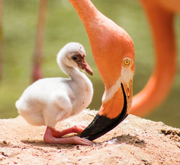 Foto op Plexiglas Flamingo Under the Beak