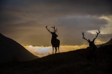 Male stag silhouetted against a sunset sky