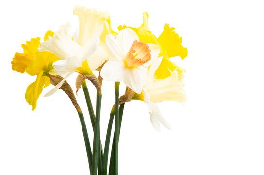 daffodil isolated