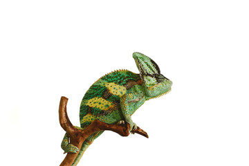 Photo sur Plexiglas Cameleon chameleon isolated on white background sitting on the wood