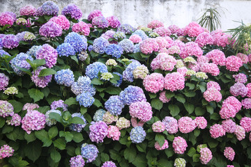 Fotomurales - Bushes of hydrangea are pink, blue, lilac, violet, purple. Flowers are blooming in spring and summer in town street garden.