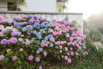 Fotomurales - Hydrangea garden by house at sunset. Bushes is pink, blue, lilac, purple. Flowers hedge is blooming in countryside and town streets in spring and summer outdoor.