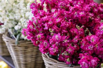 Pink Matthiola incana Francesca flowers in the garden shop.