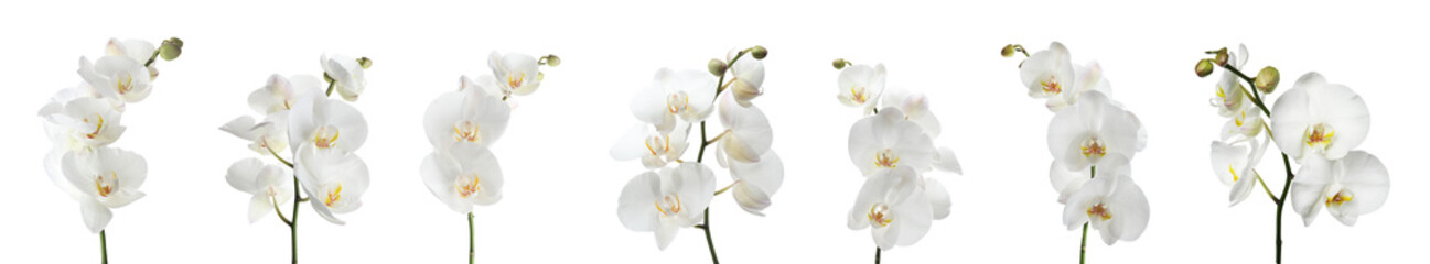 Spoed Foto op Canvas Orchidee Set of beautiful orchid phalaenopsis flowers on white background