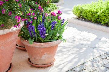 Fotomurales - Spring gardening on city streets. Tulips and hyacinth in flower pots. Lilac and purple blooming flora and green grass outdoor.
