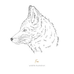 Vector side view portrait illustration of fox forest animal Hand drawn ink realistic animal sketching isolated on white. Perfect for logo branding colourig book design.
