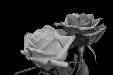 Monochrrome black and white fine art still life bright floral macro of a pair of isolated rose blossoms, black background,detailed texture,vintage painting style,symbolic pair together joint