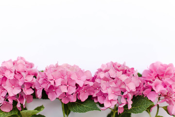 Fotomurales - Pink flowers of hydrangea isolated on white background. Hortensia are blooming in spring and summer.