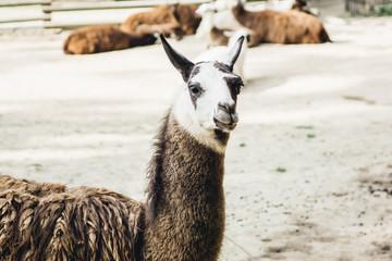 Brown and white llama portrait