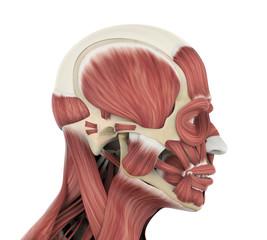 Human Facial Muscles Anatomy