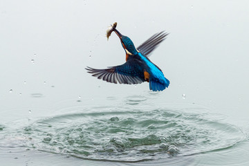 Action photo of a kingfisher coming out from water with fish in its beak after a successful fishing Wall mural