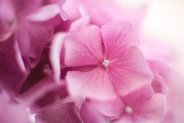 Fotomurales - Pink floral background, pattern and texture. Hydrangea flowers are blooming in spring and summer.