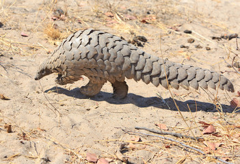 Close up of a wild Pangolin which was spotted on a walking safari in Hwange National Park, Zimbabwe.  These are critically endangered and to see one in the wild was very lucky