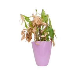 Dead and dry houseplant in pretty purple pot isolated on white background. It was Pachira aquatica, aka Money Tree.