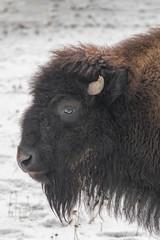 Fototapeta Close-up portrait of American bison (Bison Bison)