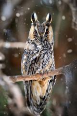 A Long-eared Owl (Asio otus) sitting on a tree