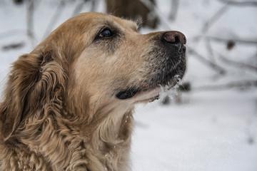Golden Retriver na spacerze w zimowej scenerii.