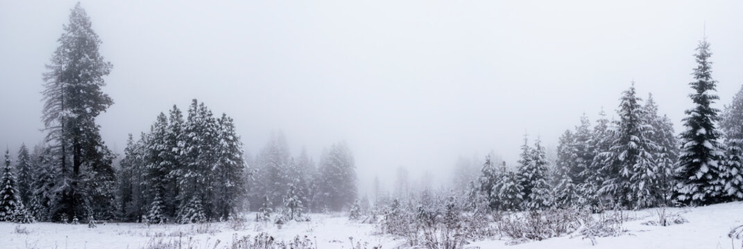 Panoramic View of Pine Trees in the Fog in Winter