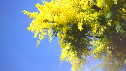 Fotoväggar - Mimosa. Spring flowers Easter background. Blooming mimosa tree over blue sky. 4K UHD video footage. 3840X2160