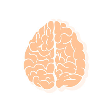 Anatomically correctly outline of human brains. The picture for textbooks with anatomy.  vector illustration of human brain on white background.