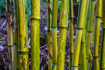 green and yellow bamboo trunks in macro closeup, relaxing nature background