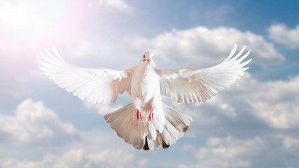 white dove symbol of freedom in the blue sky