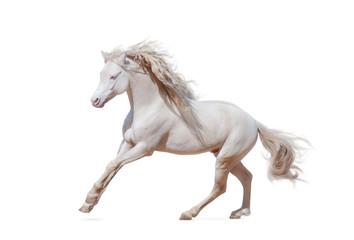 Fototapeta Beautiful welsh pony isolated obraz