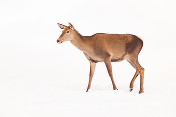 Photo sur Toile Roe roe deer in winter snow