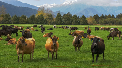 herd of dairy cows on a farm in new zealand