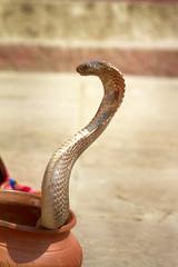 Last snake Charmer (Bede) from Benares