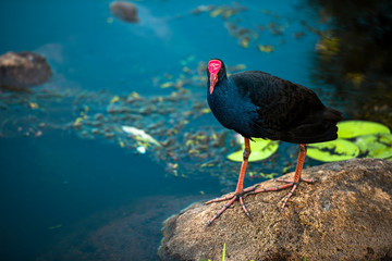 Purple Swamphen waterbird outdoors in the afternoon.