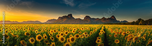 Wall mural Panorama landscape of sunflowers blooming in the field., Beautiful scene of agriculture farming on mountain range background at sunset., Plantation of crop organic farm and countryside traveling.