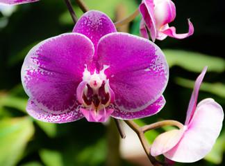 Orchidea Asiatica