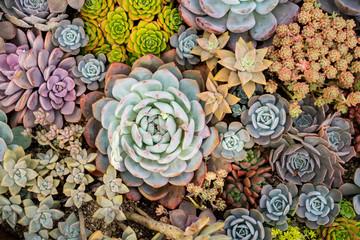 Miniature succulent plants (succulent cactus) at the garden Wall mural