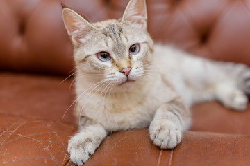 Cat beige color. Animal. Cat lying on a brown leather sofa. Animal gaze. Light eyes. Man's hand Iron the animal.