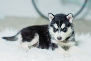 Husky puppy sitting on a white wall background. Puppy black and white color. Bicycle blue. Dog on a white fluffy rug. Animal gaze. Friend of human. A dog with blue eyes.