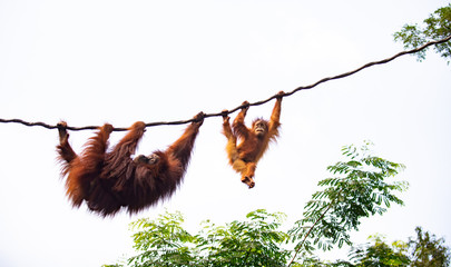 A pair of orangutan at play on vines