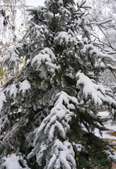 Pine tree with snow in winter