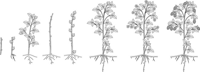 Coloring page with two year life cycle of raspberry isolated on white background. Growth stages from propagule (stem cutting) to scrub with harvest of berries