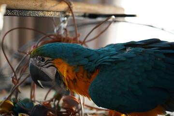 Door stickers Parrot Papegaai Blauw geel ara