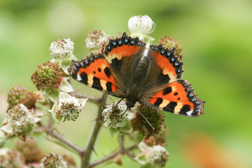 A pretty Small Tortoiseshell Butterfly (Aglais urticae) nectaring on blackberry flowers.