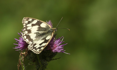 A pretty Marbled White Butterfly (Melanargia galathea) nectaring on a flower.