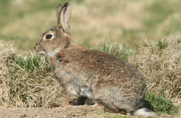 An adult Wild Rabbit (Orytolagus cuniculus) standing by its burrow.