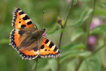 A pretty Small Tortoiseshell Butterfly (Aglais urticae) nectaring on a flower.
