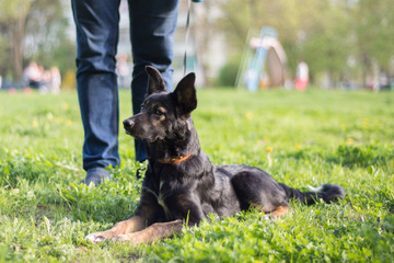next to a man in a park on a leash lies a small black dog with white spots and red paws in the green grass and stares at the distance, seeing something interesting