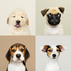Wall Mural - Portrait collection of adorable puppies