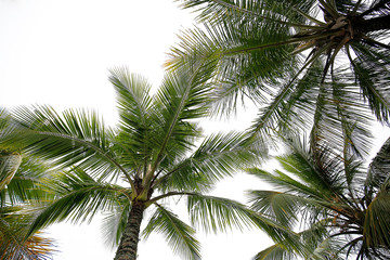 coconut palm trees view from below with a white cloudy sky background